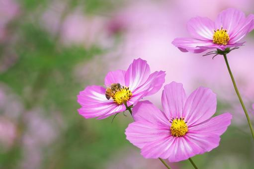 Worker bees that collect nectar and pollen from cosmos