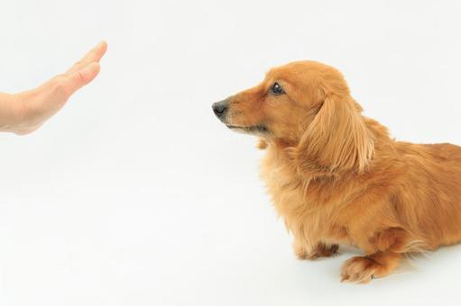 Miniature dachshund receiving long-awaited instructions