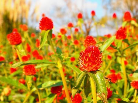 Flower bright red Kibana Sennichikou (Sennichi Beni) (Funabashi / Andersen Park)