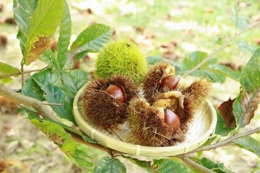 Autumn taste chestnut chestnut