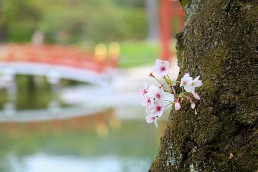 홍예 다리와 벚꽃