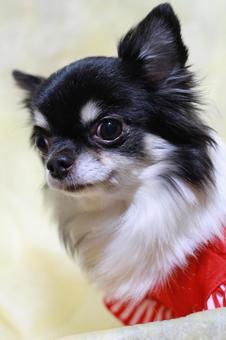 Black Chihuahua in red clothes 6