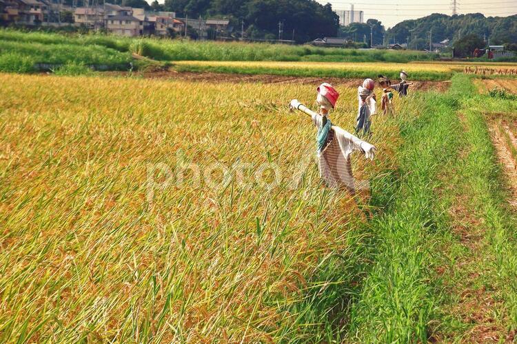 収穫の秋 #64の写真