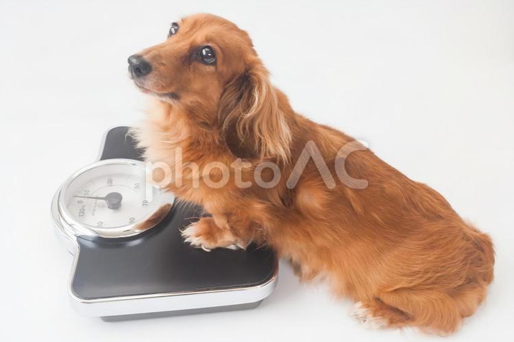 体重計に乗るミニチュアダックスフンドの写真