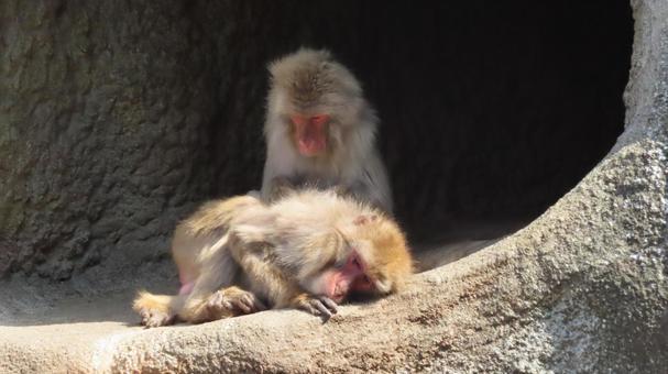 可愛的猴子在頭髮