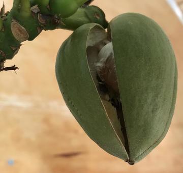 Seeds of pachira