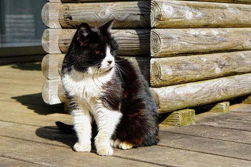 우드 데크에 앉아 흑백의 하찌와레 고양이