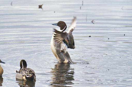 물 까치 오리 수컷이 날개를 펼치는 모습 버나비 브리티시 컬럼비아 캐나다