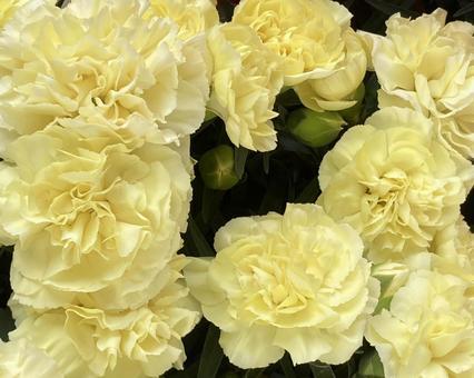 Carnation (6)