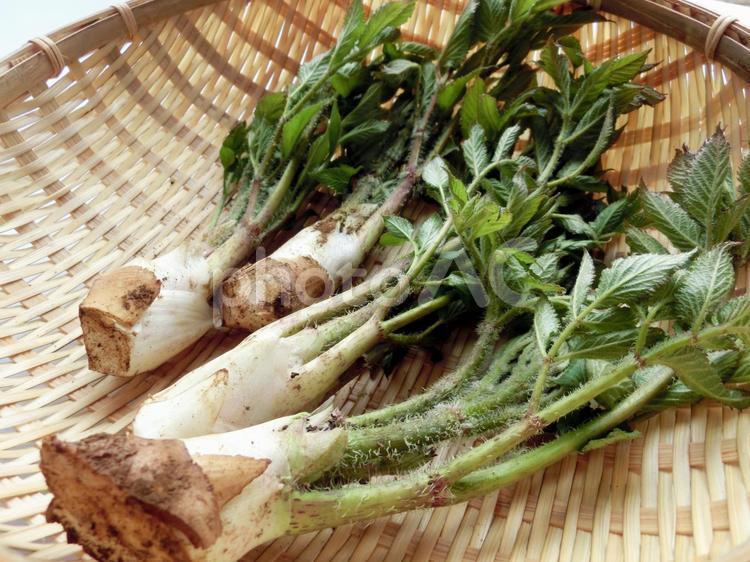山菜ウド2の写真