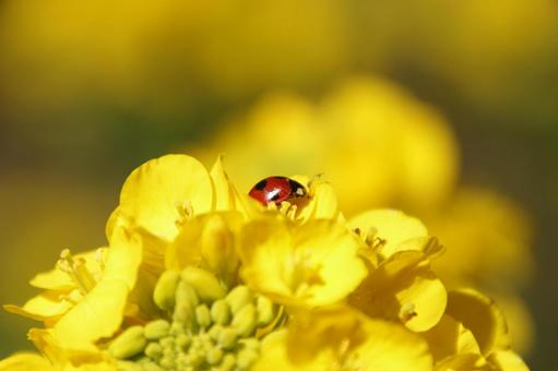 Rape blossoms and ladybugs