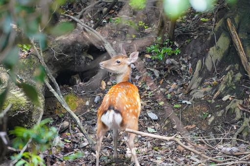 Deer in the forest 1