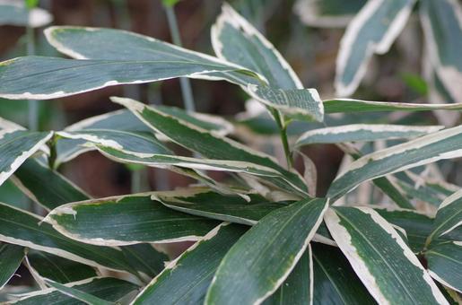 Kumazasa (Nature / Plant)