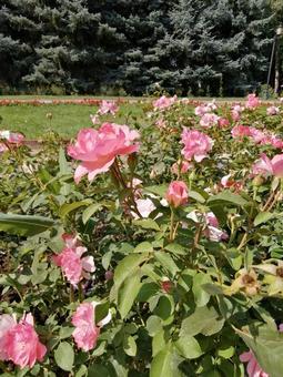 카자흐스탄 빤휘로후 공원의 장미