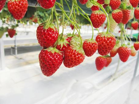 Strawberry picking 0514