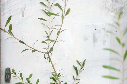 흰 벽과 올리브 나무