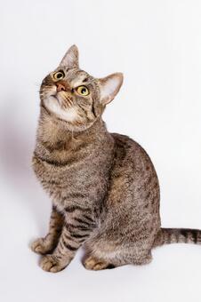 Tiger pattern cat 8