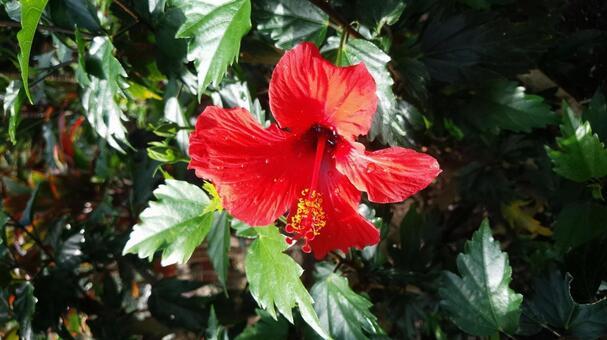 히비스커스 꽃