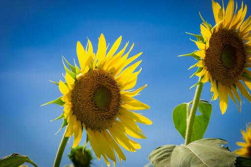 Summer, blue sky and sunflower flowers up