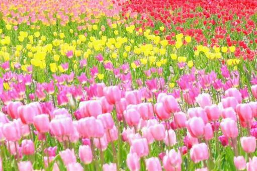 튤립 봄 꽃