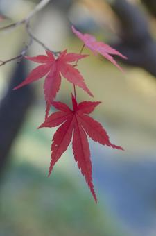 Temporary coloring maple 39