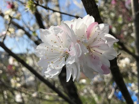 White and pink flower peach