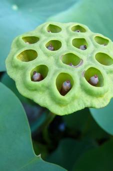 연밥 연꽃의 열매