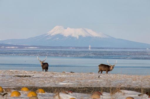 [Hokkaido] Yezo deer on the Notsuke Peninsula and Kunashiri Island