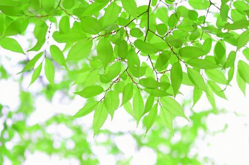 Fresh green leaves young leaves zelkova zelkova