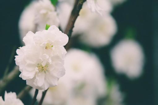 Hanamomo white