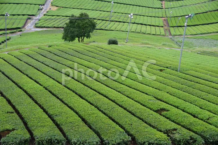 八女茶畑の写真