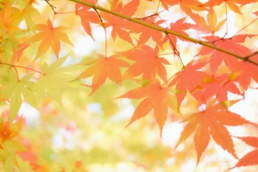 Autumn leaves maple