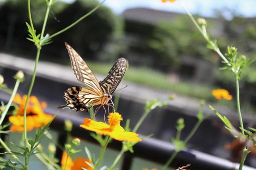 꿀을 빨아 호랑 나비
