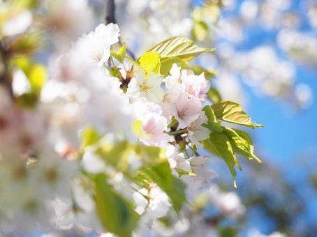 葉桜과 푸른 하늘 봄 이미지