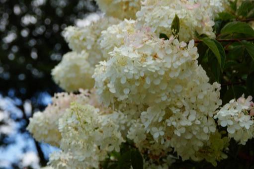 White flowers of Panicled hydrangea