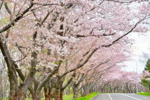 桜 and wood road