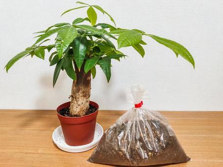 Gardening soil and pachira