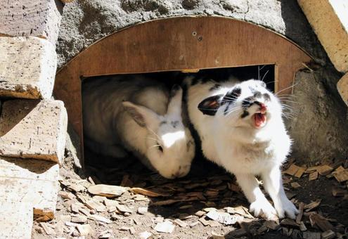큰 하품 토끼
