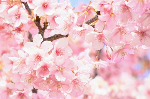 Beautiful full bloom Kawazu cherry blossoms Pink cherry blossom background