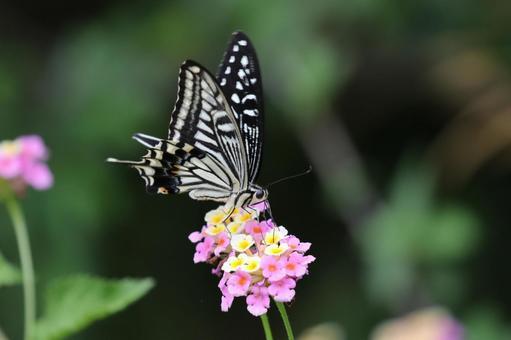 [나비] 호랑 나비