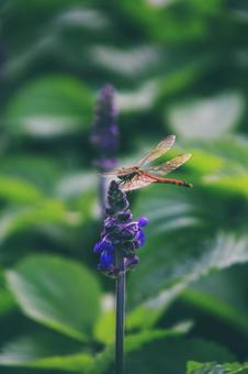 Purple salvia and red dragonfly
