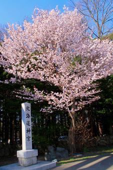 Sakura in Hokkaido Jingu Shrine