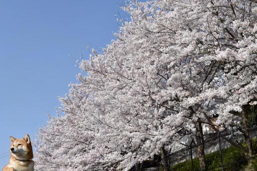 Shiba Inu, Cherry Blossom