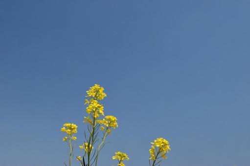 푸른 하늘과 유채 꽃