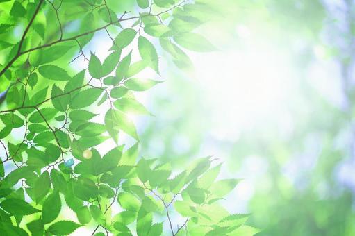 Glittering light and fresh green leaves Wakaba Keyaki