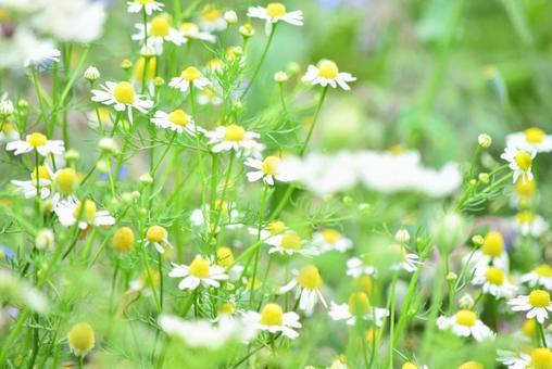 Chamomile flower garden 3