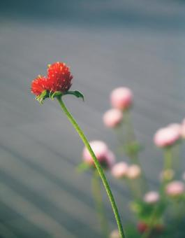 Red amaranth like a heart