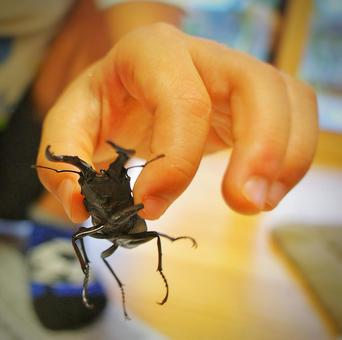 Hands to catch stag beetles