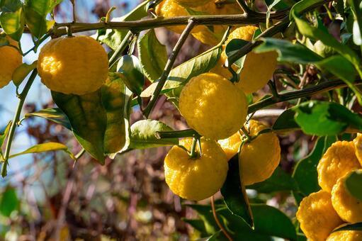 유자 나무의 열매
