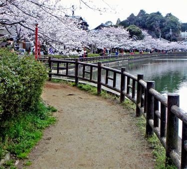 Ohanami(樱花)
